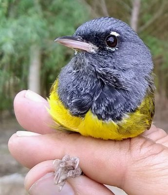 150 especies de aves se encuentran en la Colonia Miguel Alemán