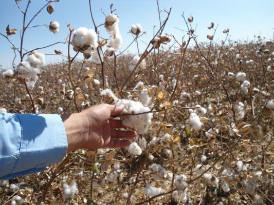 """Esperan agricultores """"Rosa"""" beneficie al sorgo y algodón"""