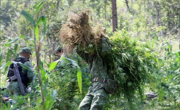 SEDENA decomisa plantA�o de marihuana en la regiA?n Mixe de Oaxaca.